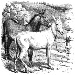 "From Woods Bible Animals: SYRIAN ASSES. ""A bridle for the ass.""—Prov. xxvi."