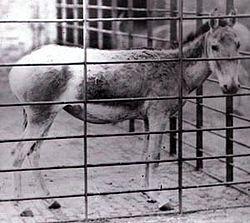 SyrianWildAss-London_Zoo 1872