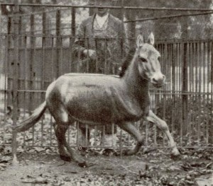 One of the last Syrian wild asses before extinction, in the Vienna Zoo in 1915