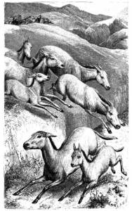 "Revd Woods Bible Animals: THE WILD ASS. ""As wild asses in the desert go they forth.""—Job xxiv. 5."