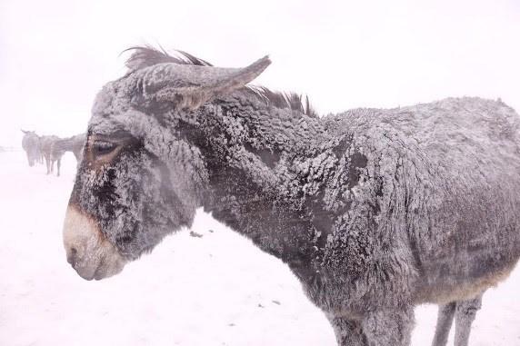 donkey-snow