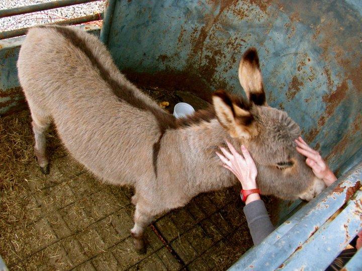 nubian-donkey