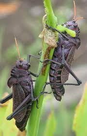 locust4